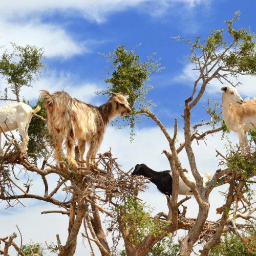 goats+on+a+tree